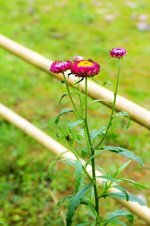 Helichrysum or Straw flower beautiful sweet background at countryside Thailand