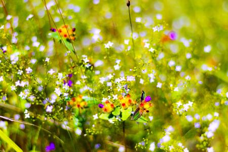 Blume Burmania-coelelestris D.Don mit bokeh im Mukdahan-Nations-Park, Thailand. Standard-Bild - 86896784