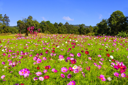 Field cosmos flower beautiful with sunshine and sky background at Loei Province, Thailand
