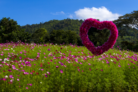 The field of cosmos flower and blue sky with green tree background at Loei Provice, Thailand 写真素材