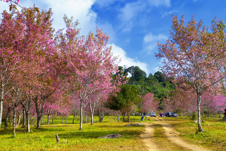 Cherry blossom flower or Sakural with sunlight in forest at Phu Lom Lo, Loi province Thailand Stock fotó