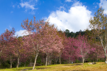 Cherry blossom flower or Sakural beautiful with sunlight in forest at Phu Lom Lo, Loi province Thailand 版權商用圖片