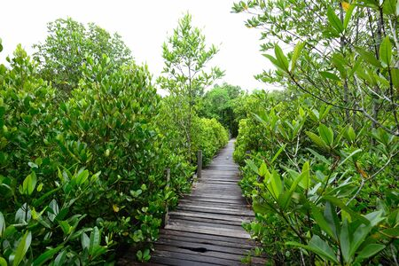 Wooden bridge and mangrove forest Stock Photo