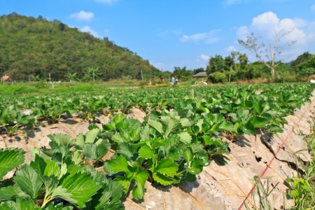 strawberry garden at samoeng, chiangmai thailand photo