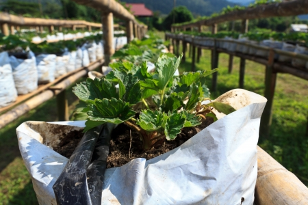 strawberry organic at samoeng, chiangmai thailand photo