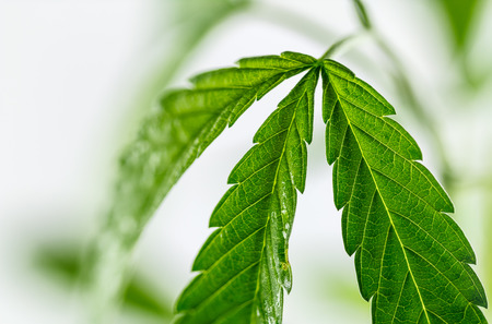 marihuana leaf: hoja de marihuana, un disparo en el estudio Foto de archivo