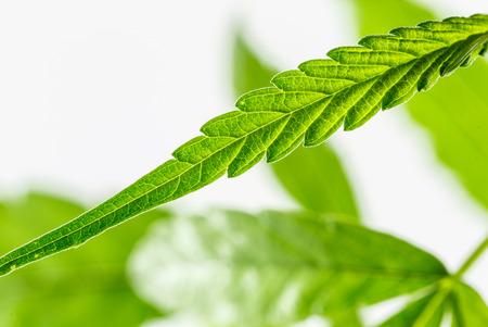 marijuana leaf: marijuana leaf ,shot in the studio