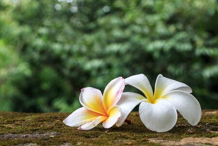 Plumeria flowers, Beautiful White inflorescence photo