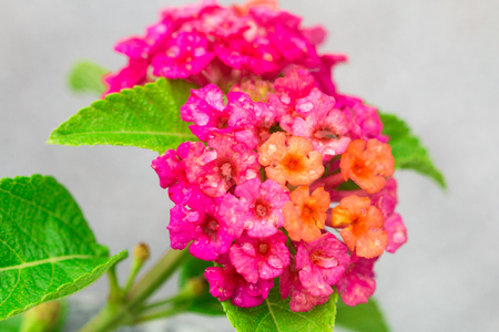 Celosia cristata flower  isolate on background in spring summer,front view from the top, technical cost-up. Stock Photo