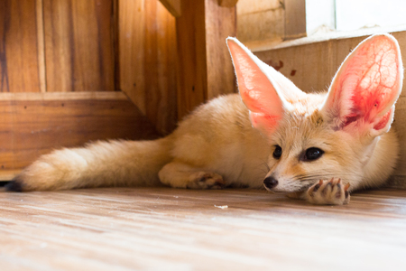 fennec fox 1 year isolate on background,front view from the top, technical cost-up. Foto de archivo