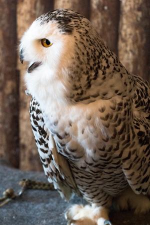 Pygmy owl,Glaucidium brodiei 1year old isolate on background, technical cost-up. 版權商用圖片