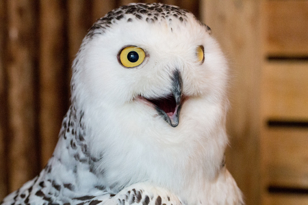 snow owl 1year old isolate on background, technical cost-up. Stock fotó