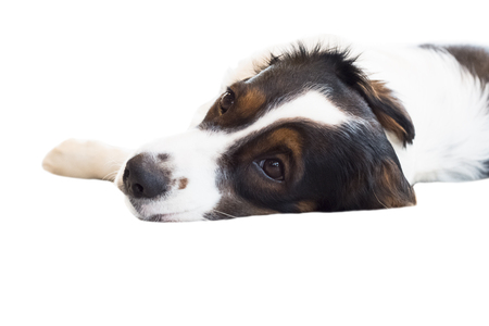 tricolor Australian shepherd isolate on white background,front view , technical cost-up.