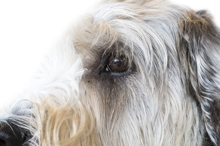 Yorkshire Terrier isolate on white background,front view , technical cost-up. Stock Photo