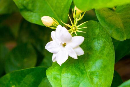 Jasmine isolate in sping sumer after raining in the morning, technical cost-up.