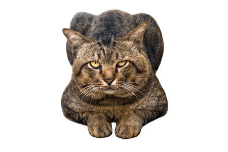 Portrait of brown eyed and big head tabby cat isolated on white background