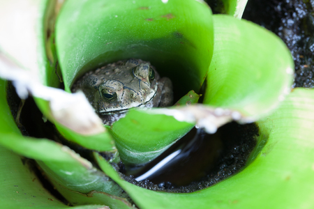 croak: Toad in the Bromeliad on summer,  Close up. Stock Photo