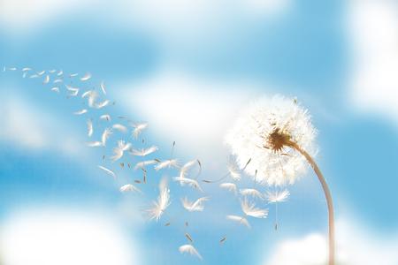 Beautiful flying dandelion seeds in the Wind on blue sky.