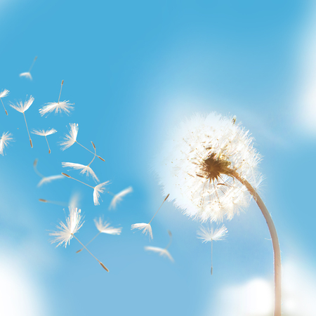 Beautiful flying dandelion seeds in the Wind on blue sky.