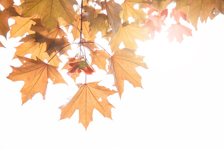 colourful lightings: maple leaves and maple keys on a twig in autumn, Sycamore keys, Acer pseudoplatanus. Stock Photo