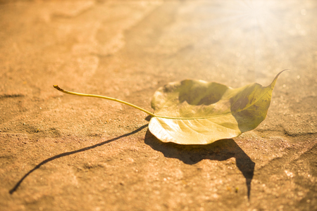 Pho leaf on the ground and golden light shining in the sun.