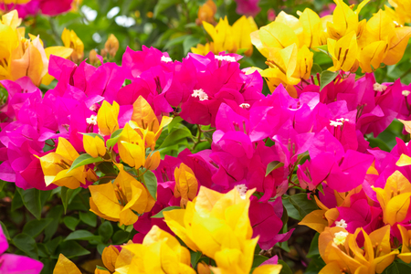 Close up bougainvillea paper flower in colorful color