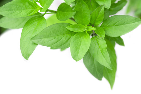 Sweet Basil Herb Growing in a organic garden. Thai Basil leaf (Ocimum basilicum) isolated on white background
