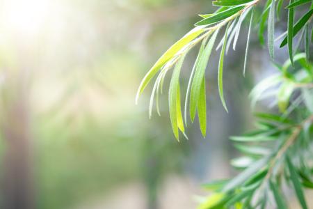 Liu tree beautiful and sunlight in the morning time.