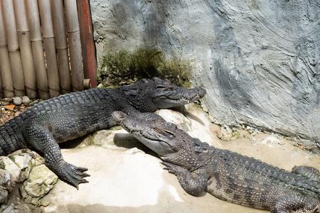 freshwater crocodiles in Thailand Stock Photo