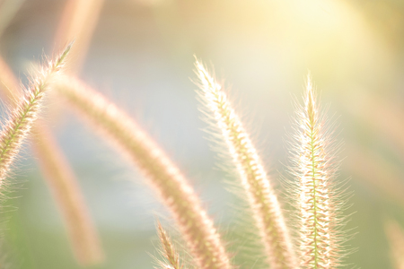Close up grass during sunset in summer time. Stock Photo