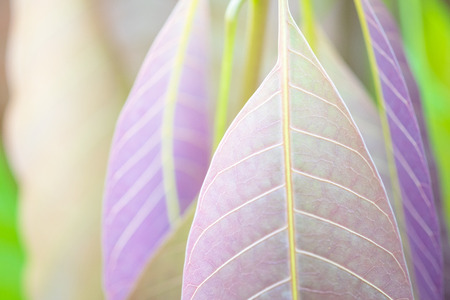Beautiful purple leaves and sunligth in the garden at summer time.