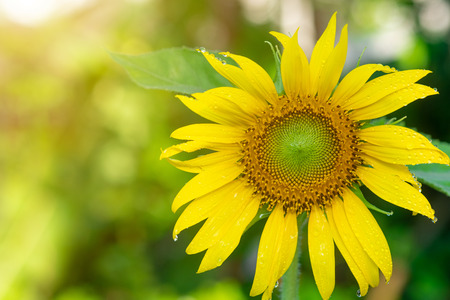 Beautiful sunflowers in tha garden.