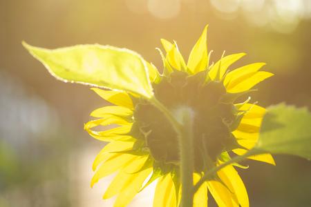 Beautiful sunflowers white sunlight in tha garden. Stock Photo