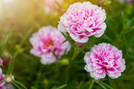 Beautiful flower Portulaca oleracea in summer on a green background. Close up, Blur background