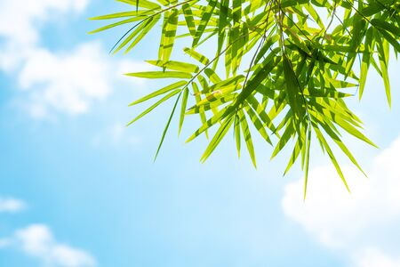 Bamboo leaves and blue sky. Nature concept.