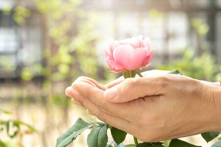 Women hands of agriculture and pink rose in the green garden. For Valentines Day.
