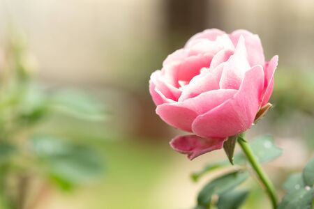 Pink rose in the green garden. For Valentines Day.