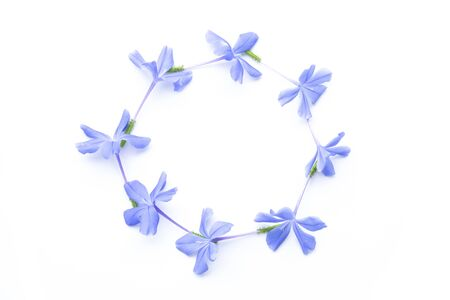 close up frame of Plumbago auriculata in circle on white background. Blue flowers. Imagens - 133375960