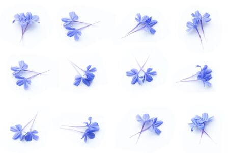 close up of Plumbago auriculata on white background. Blue flowers. Imagens