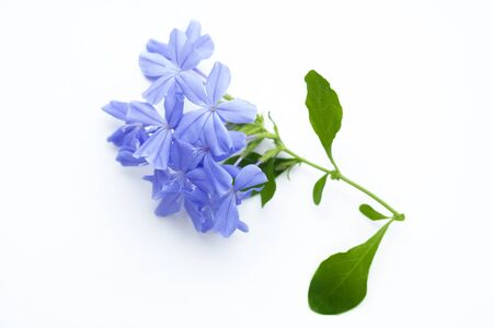 close up of Plumbago auriculata on white background. Blue flowers. Stockfoto