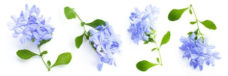 close up set of Plumbago auriculata on white background. Blue flowers. Panorama concept.