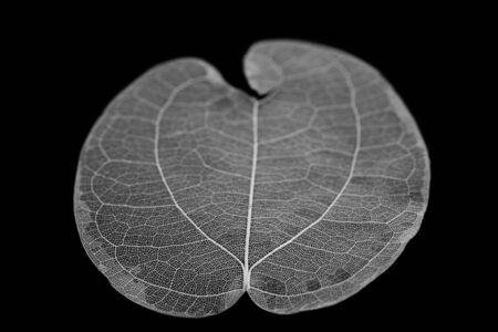 Dry leaf detail texture on black background. Skeleton of leaf.