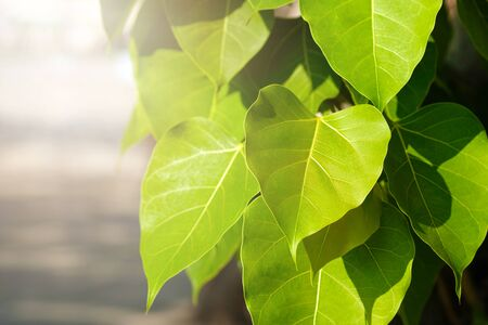 Green leaf Pho leaf, (bo leaf, bothi leaf) with sunlight in nature. Bo tree representing Buddhism in thailand.