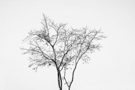 Silhouette dead tree branches with white sky background.