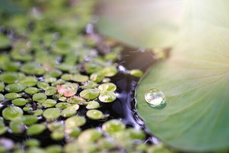 Water drops on the lotus leaf and sunlight in the morning.