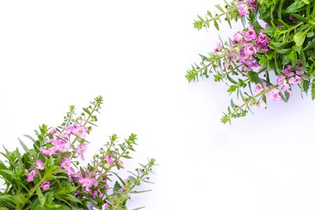 Beautiful Waew Wichian on white background.. (Angelonia goyazensis Benth; Thai style forget-me-not). Pink angelonia goyazensis Benth. Stock Photo
