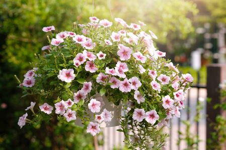 Beautiful pink colored petunias flowers with sunlight in the garden. Petunia flowers in the garden. Petunias wave.