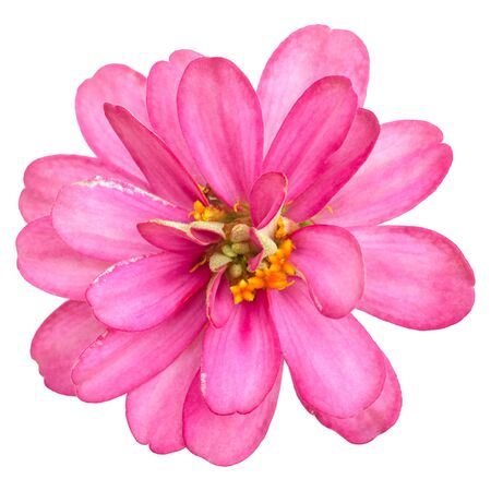 Beautiful pink zinnia on white background. Including clipping path.