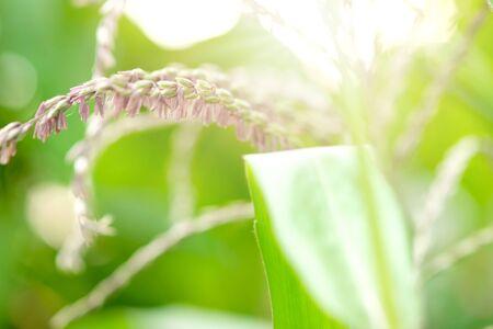 Close up cornflower at corn field with sun light. Sweet berry.