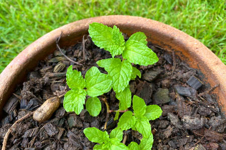 Fresh spearmint leaves in the pot on green background. Close up beautiful mint, peppermint.